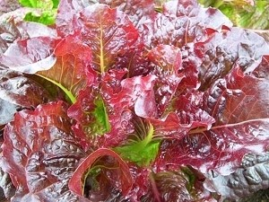 Lettuce (Outredgeous) Organic Seeds
