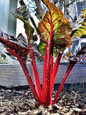 Swiss Chard (Rhubarb Red) Organic Seeds
